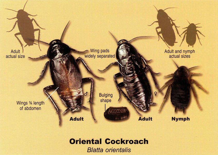 Roaches Roaches Cockroaches Bug Control