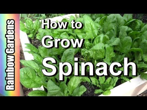 Are You Interested In Learning How To Grow Spinach But Don T Know Where To Start Then Read Learn How To Grow Spinach From S Growing Spinach Paleo Hacks Herbs