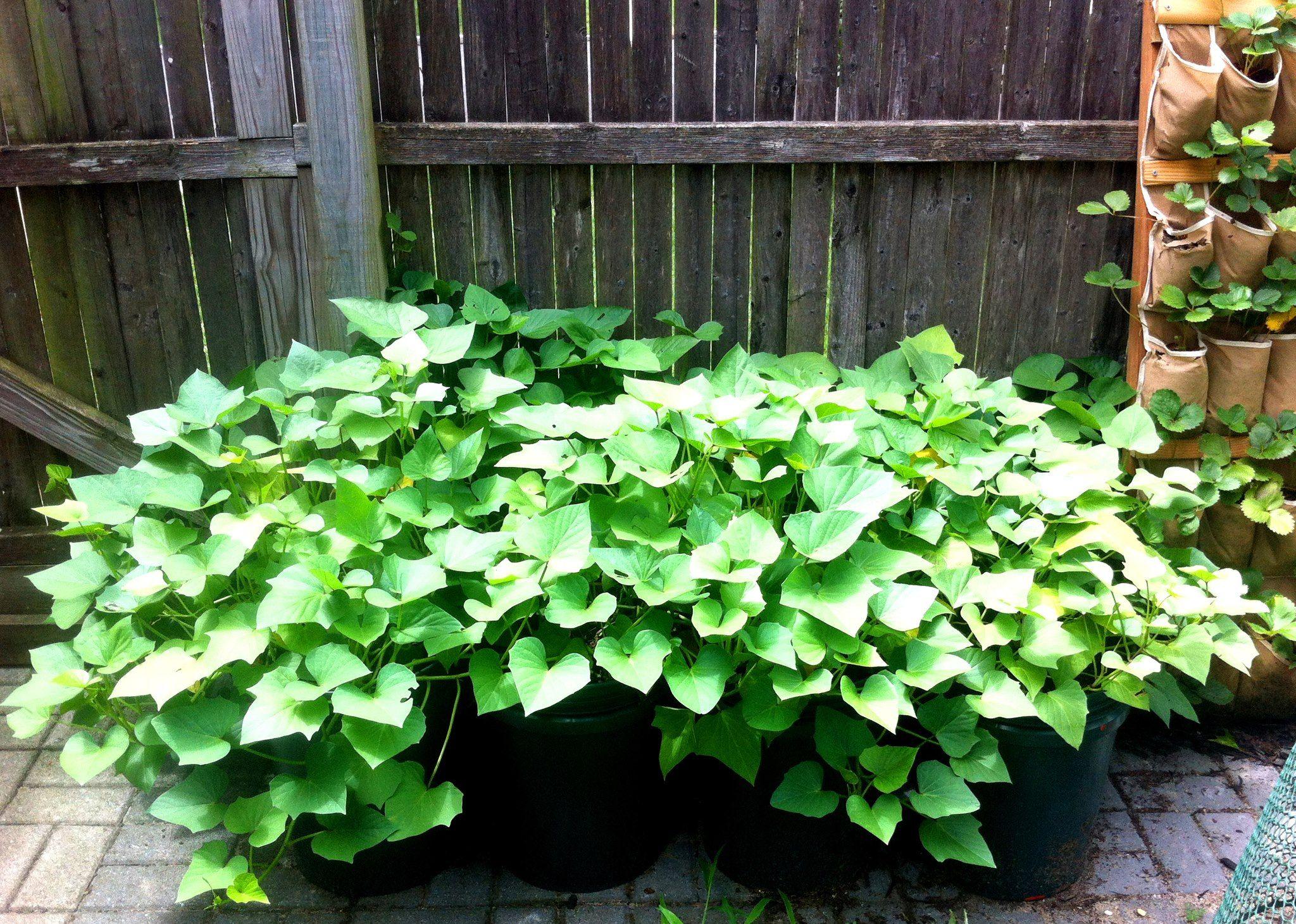 creative way to grow sweet potatoes potatoes grown in 5 gallon