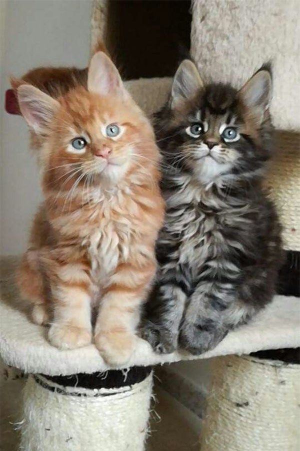 How To Tell If A Kitten Is A Maine Coon - Bobby Schaefer Schaef Designs Jewelry.com - Animal de soutien émotionnel #catbreeds