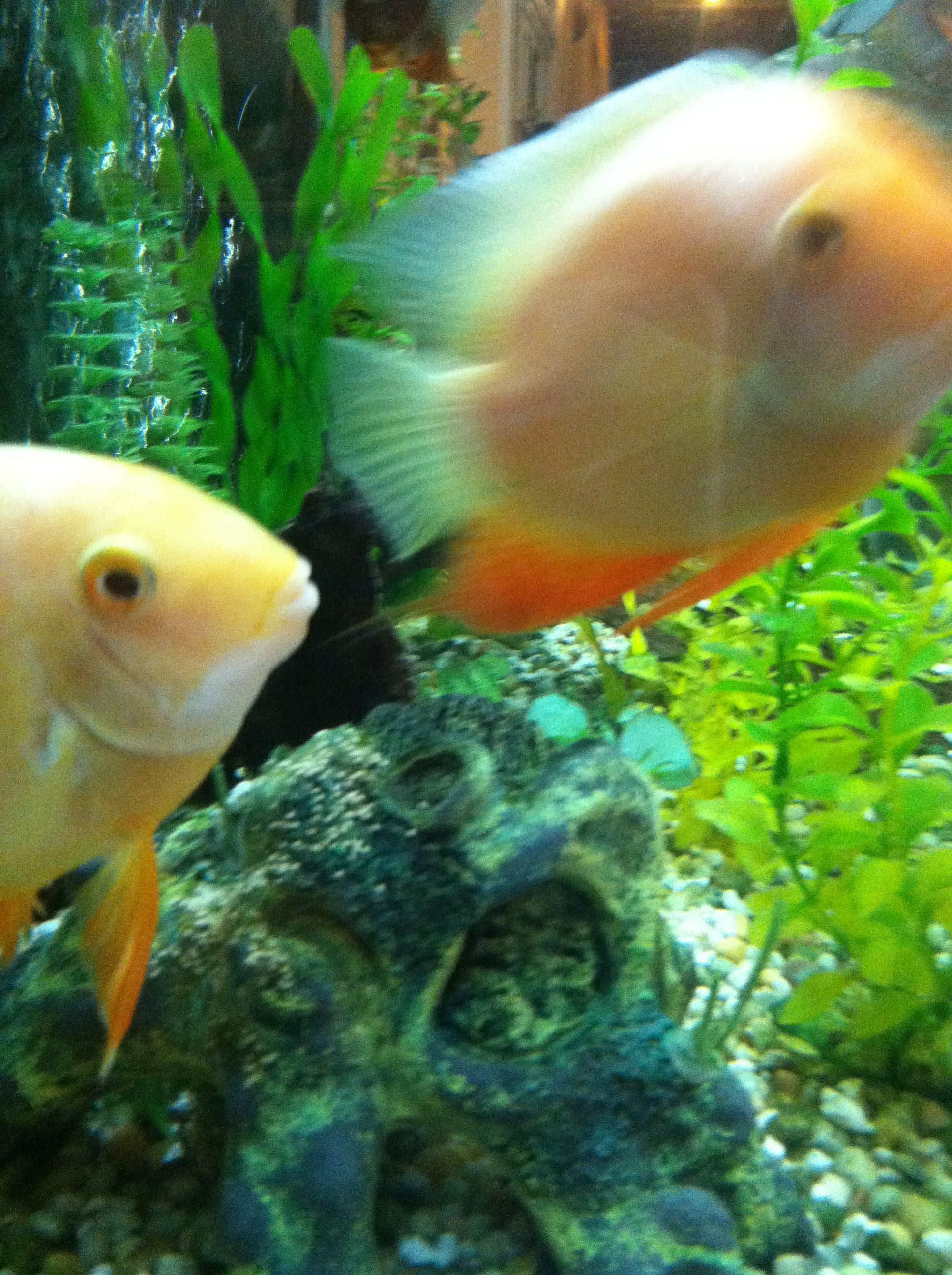Fish aquarium and good luck - Gold Severum Guarding Their Latest Batch Of Eggs Lain Earlier Today Good Luck Fish Fish Pinterest Eggs Good Luck And Gold