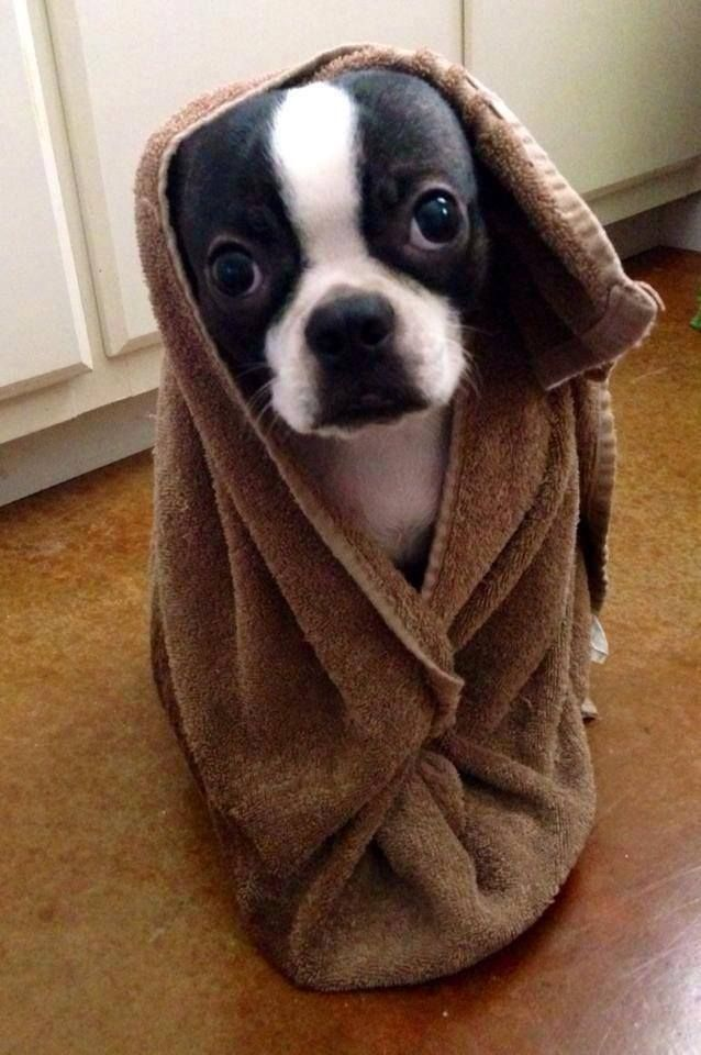Owen After His Bath So Cute From Boston Terrier Owners Connected