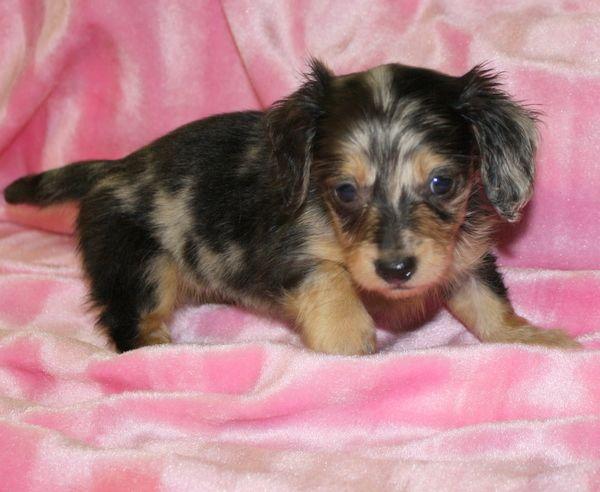 Dachshund Puppies Dachshund Puppy Miniature
