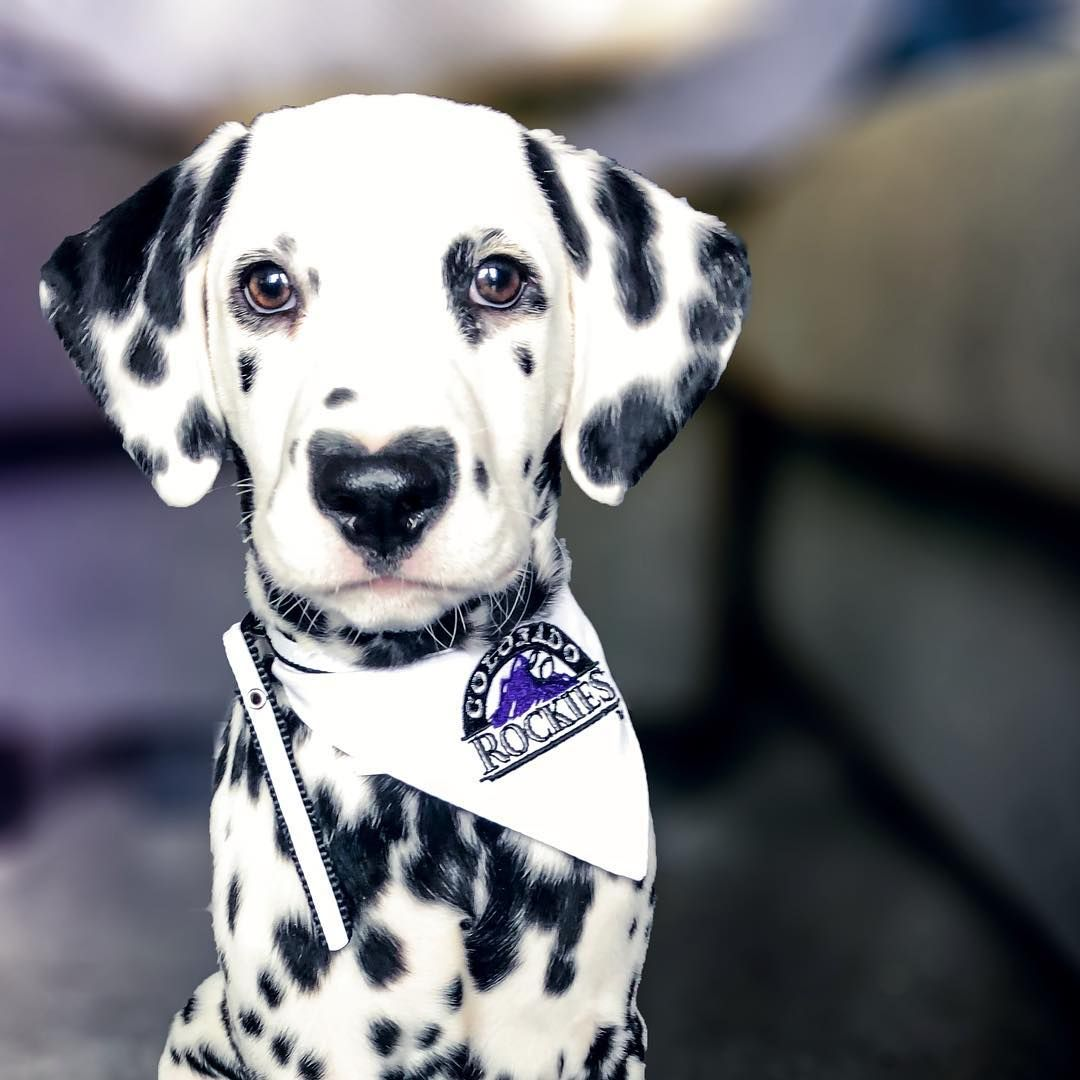 Meet Wiley The Dalmatian Puppy With A Heart Shaped Nose The