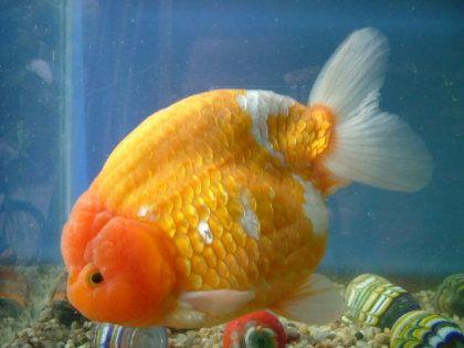 Goldfish del criadero de los japoneses aquarium peces for Criadero de peces goldfish