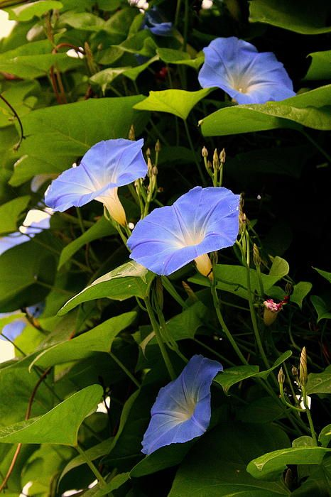 Blue Morning Glories By Kay Novy Blue Morning Glory Morning Glory Flowers Morning Glory