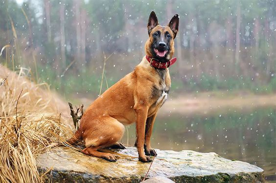 Treat Your Pet Right With These Dog Care Tips Belgian Malinois