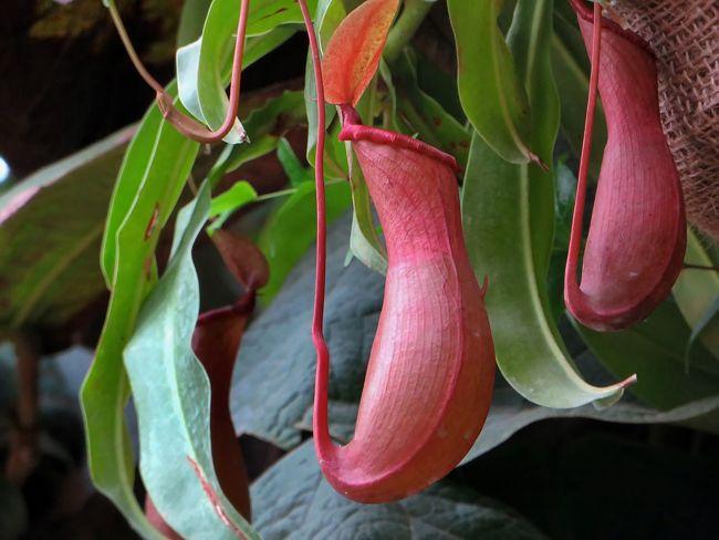 Nepenthes plante carnivore avec des urnes pi geuses - Plante carnivore d interieur ...