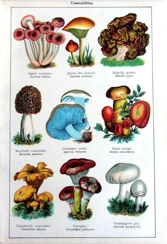 1907 antique edible fungus print, original vintage color mushrooms engraving, different species of mushrooms plate illustration. On etsy.