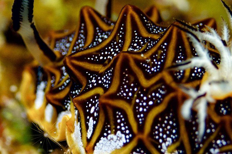 Halgerda tessellata (モザイクウミウシ) | nolick03 | Flickr