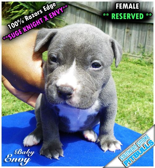 Free Blue Pitbull Puppies | RAZORS EDGE PITBULLS PUPPIES FOR