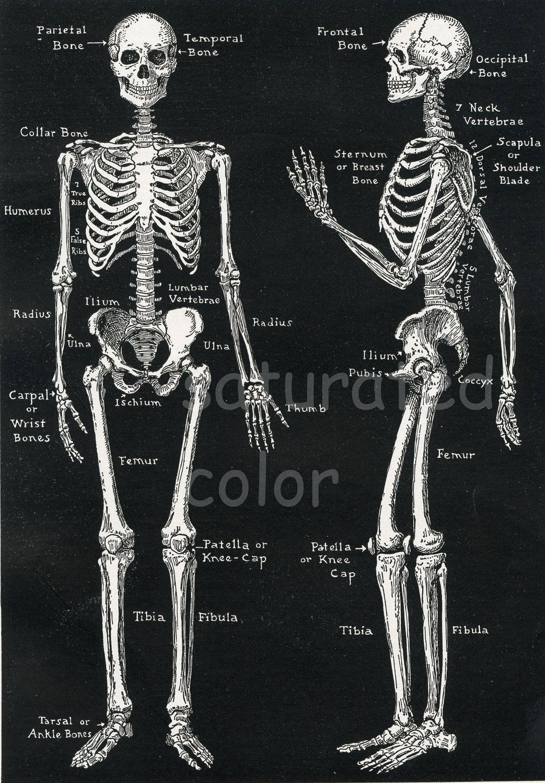 Human Skeleton Anatomy Vintage 1940s High Res DIGITAL IMAGE Diagram ...