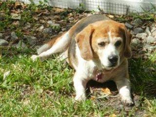 Life With Beagle Beagle Of The Week Plus Senior Beagles Who Need