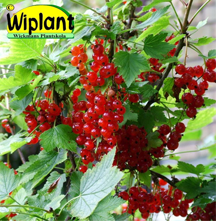 röda vinbär sorter