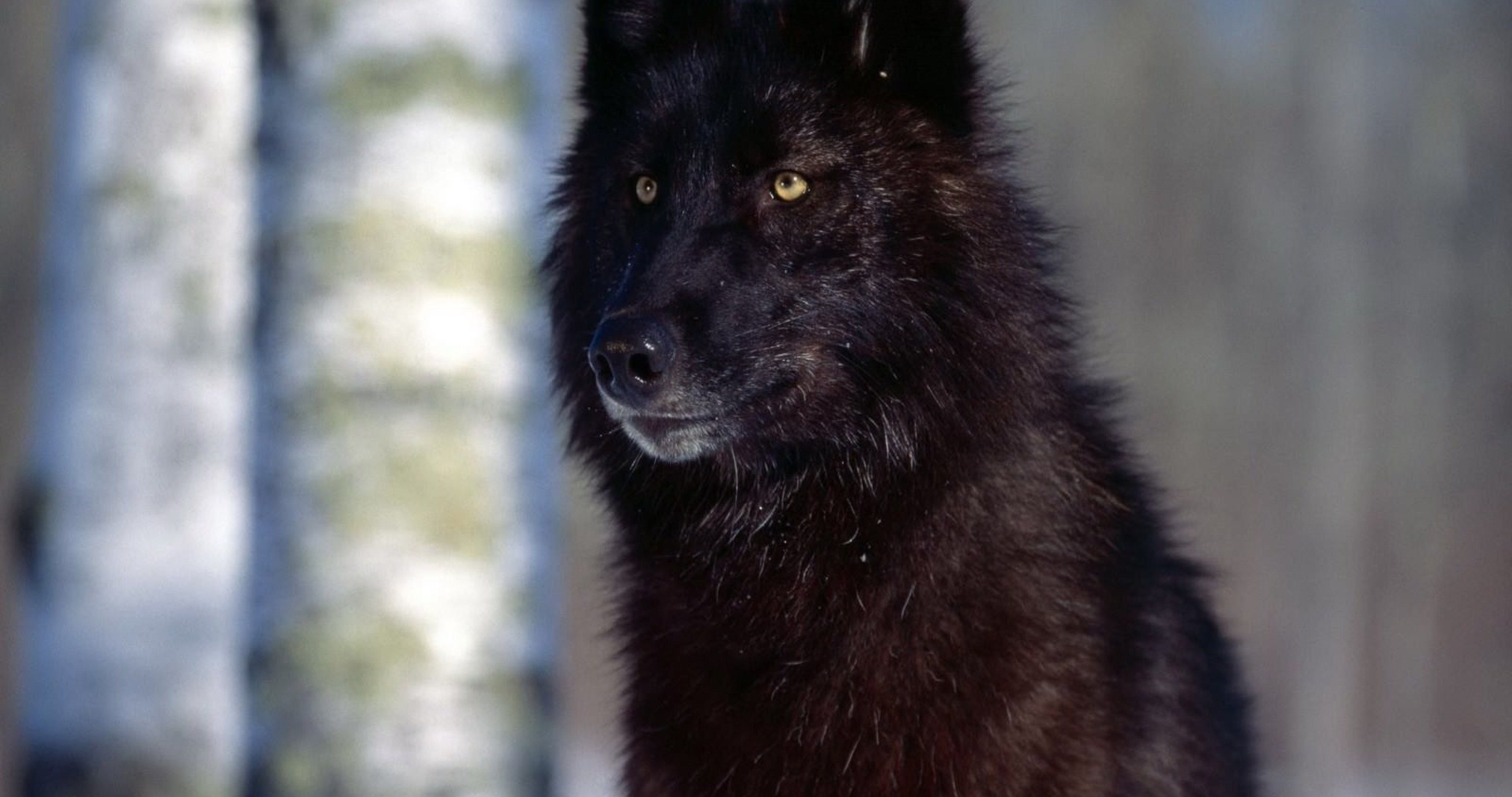 Black Wolf Wallpaper Hd 4k Ultra Hd Wallpaper With Images Wolf
