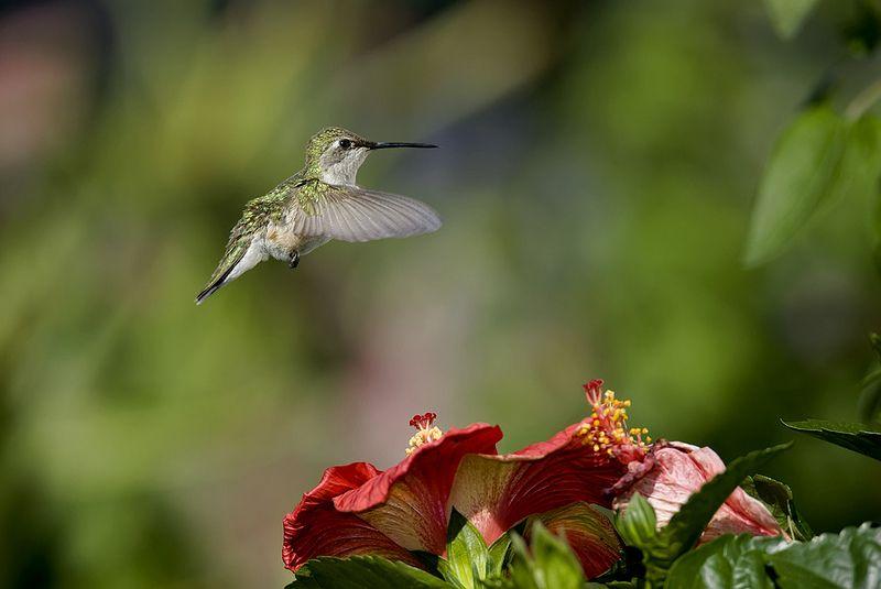 Hummingbird and Hibiscus_RGB2586   Flickr - Photo Sharing!