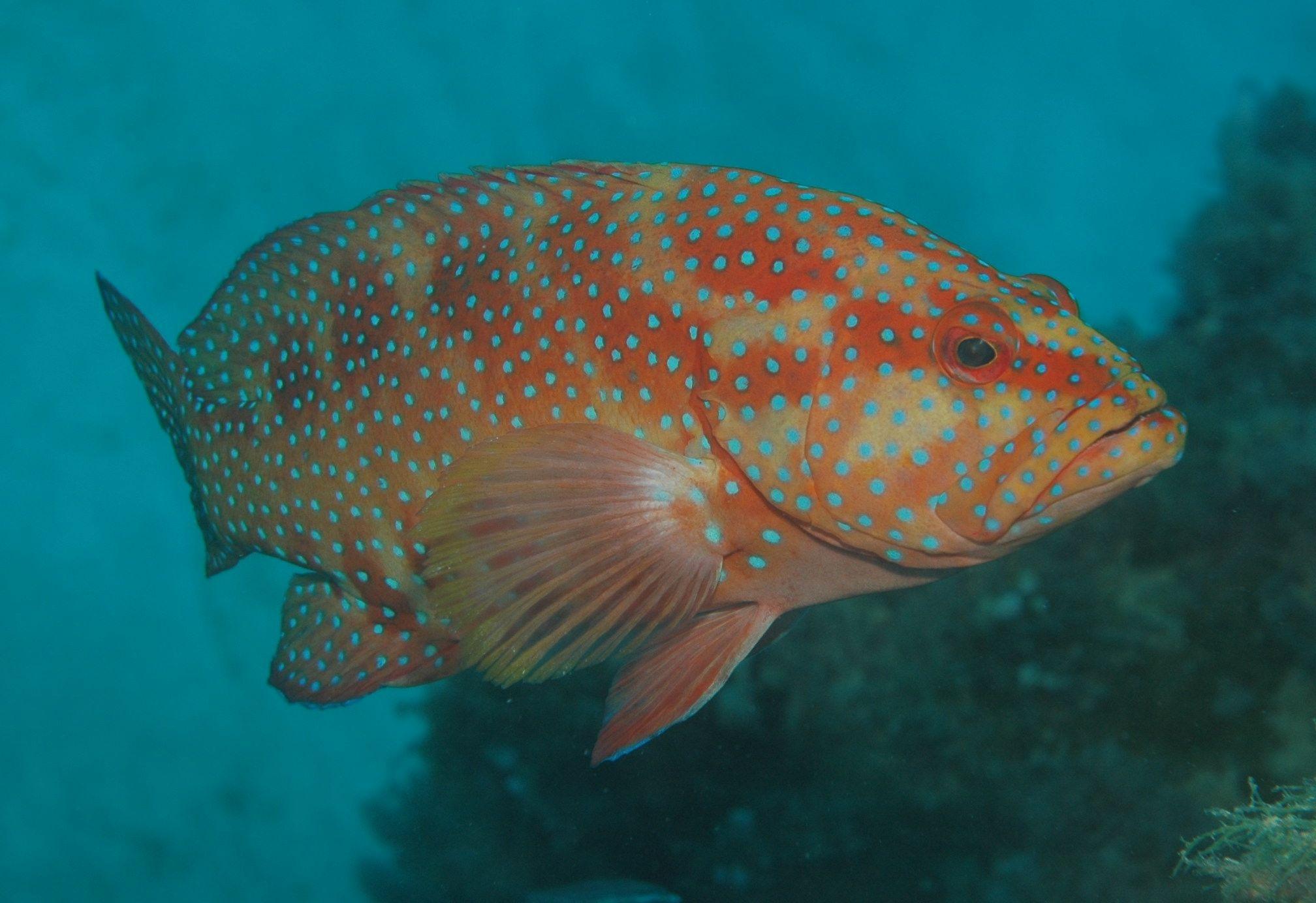 plectropomus leopardus leopard coralgrouper 東星斑 color from