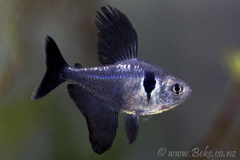 Hyphessobrycon Megalopterus Tetra Fish Freshwater Aquarium Fish Pet Fish