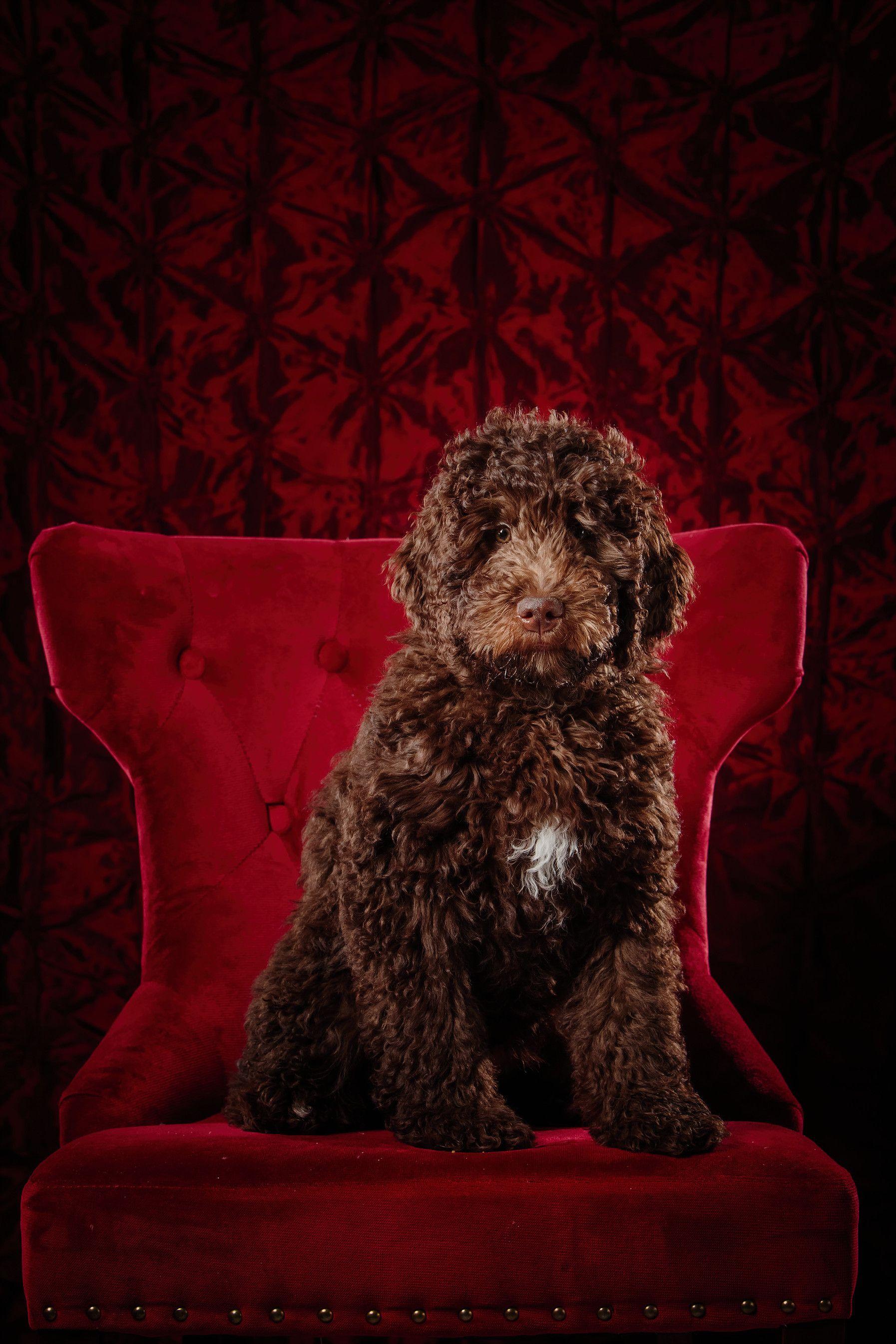 Goldendoodle Cuteness 💕 Goldendoodle puppy, Mini
