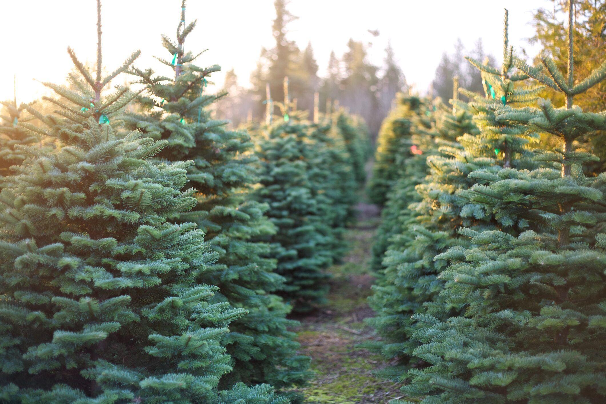 Fox News How To Keep A Christmas Tree Alive Throughout The Season Christmas Tree Farm Cool Christmas Trees Tree Farms