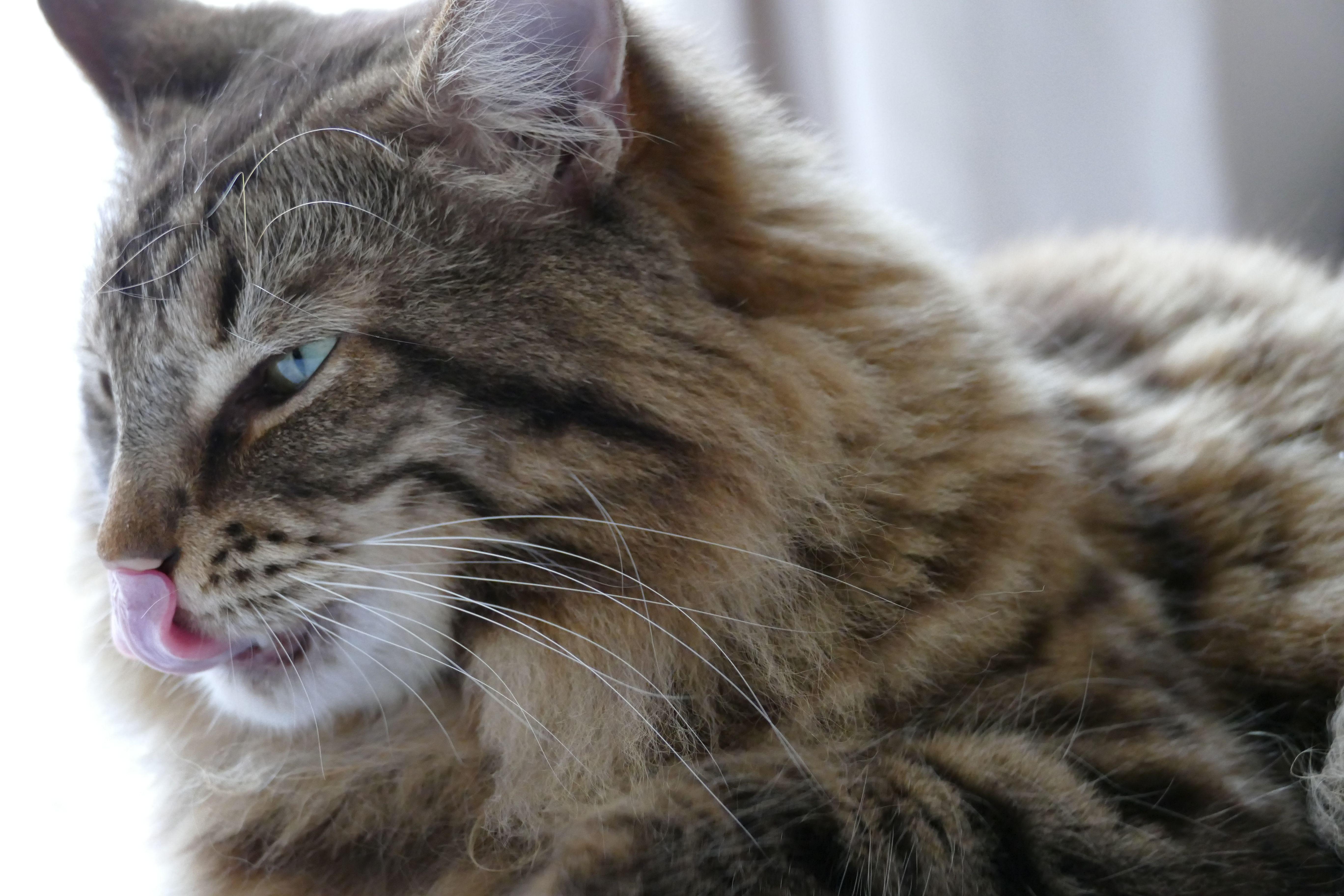 American Bobtail American Bobtail Cat Pinterest