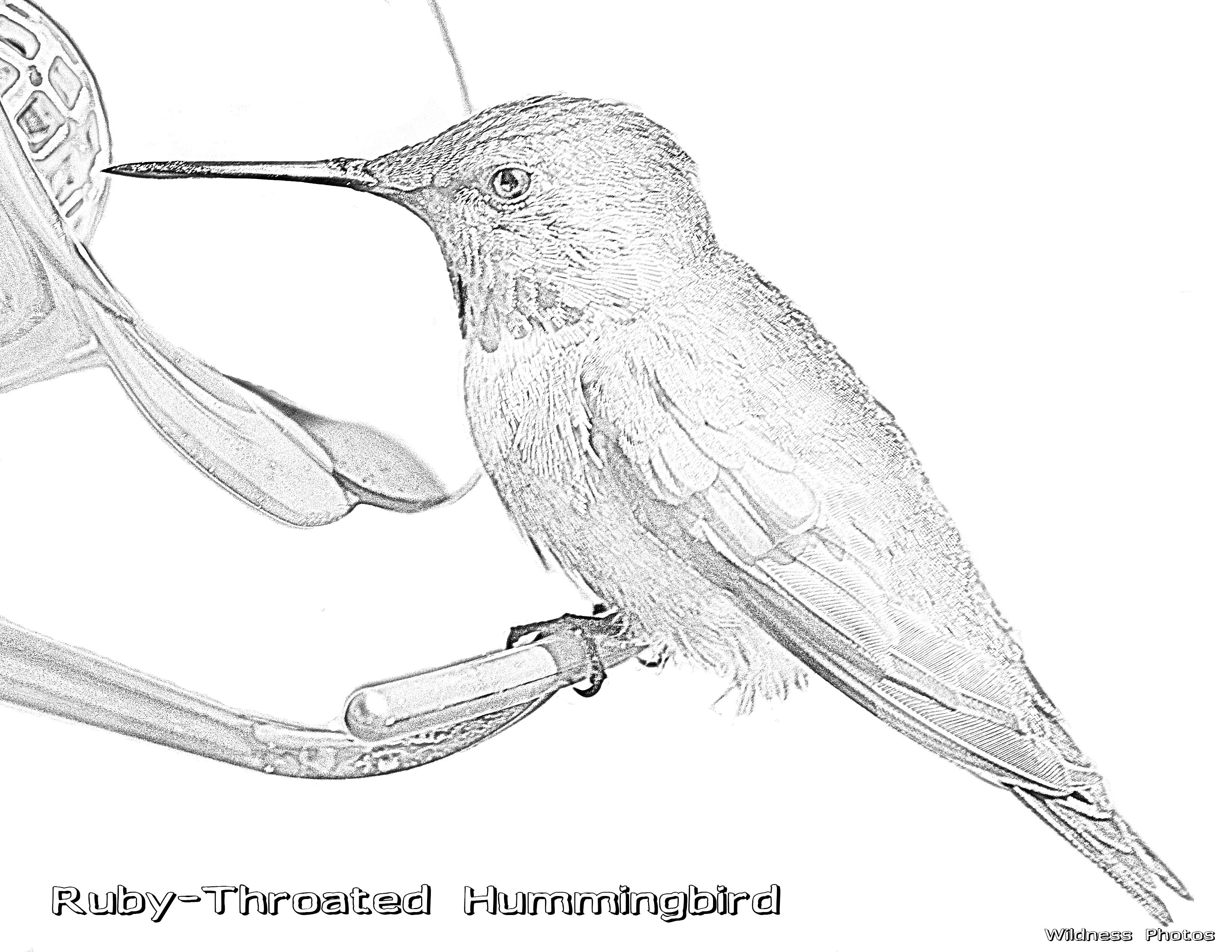 Male Ruby Throated Hummingbird 1