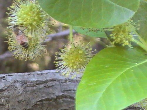 Tupelo Flower