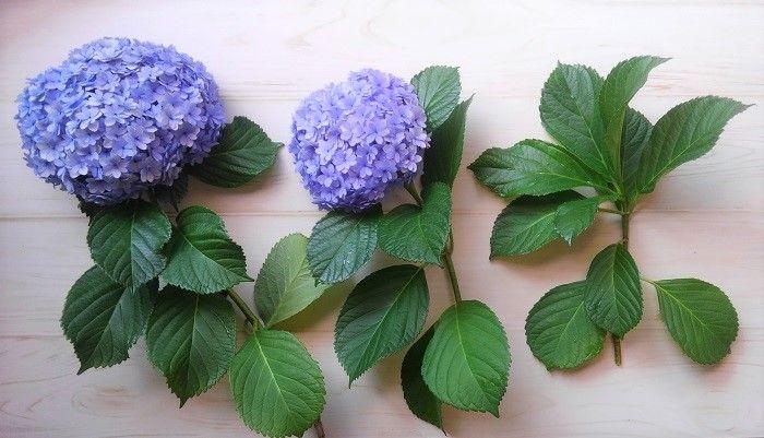やってみた 紫陽花 アジサイ の増やし方 切り戻し剪定と挿し木の適期と生長 挿し木 アジサイ ガーデニング 花