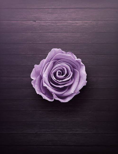 Red Color For Hunger | Purple roses, Aesthetic roses ...