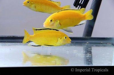 Yellow Lab Labidochromis Caeruleus Mbuna Lake Malawi African Cichlid Live Fish African Cichlids Cichlids Malawi Cichlids