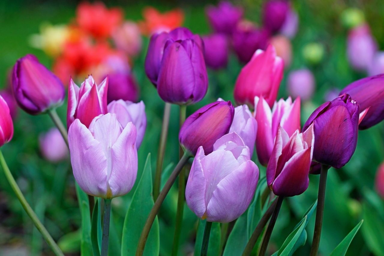 How To Care For Tulip Bulbs After Bloom To Keep Them Looking Beautiful In 2020 Tulip Bulbs Indoor Flowers Tulips