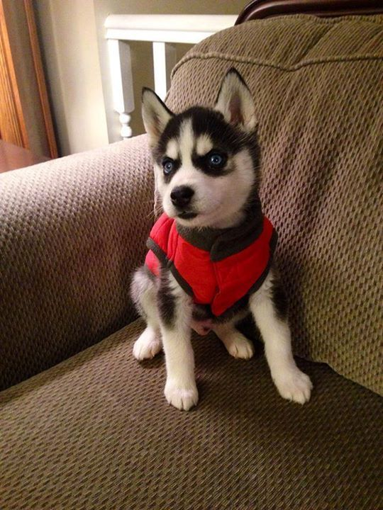Siberian Husky Puppy In His Stylish Red Coat Dog Obsessed Husky
