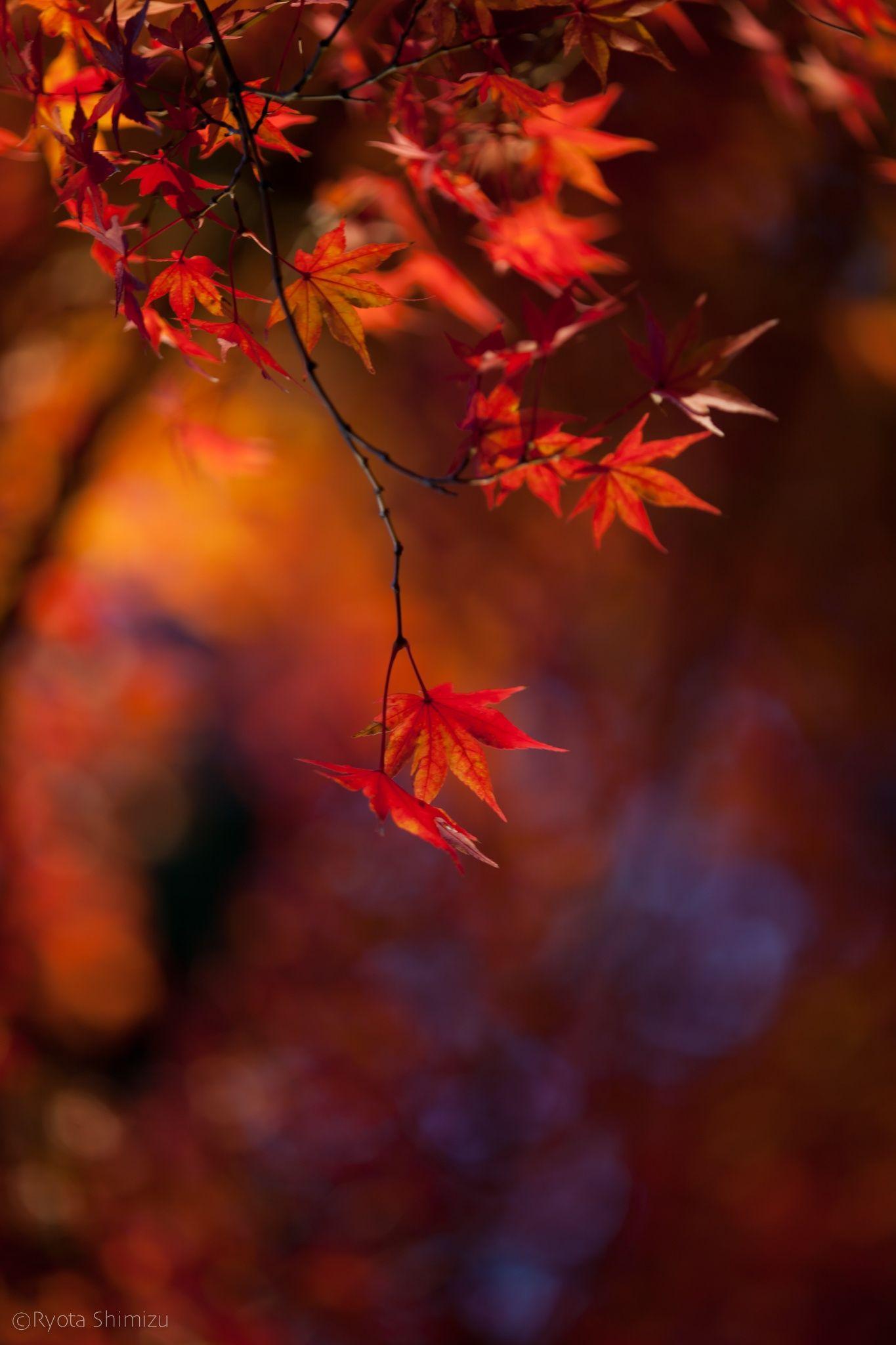 japanese maple by Ryota Shimizu on 500px