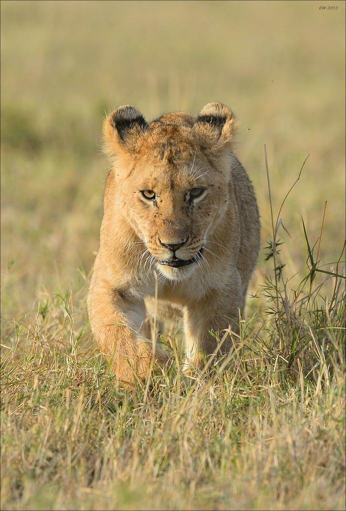 Lion Cub by Elmar Weiss on 500px