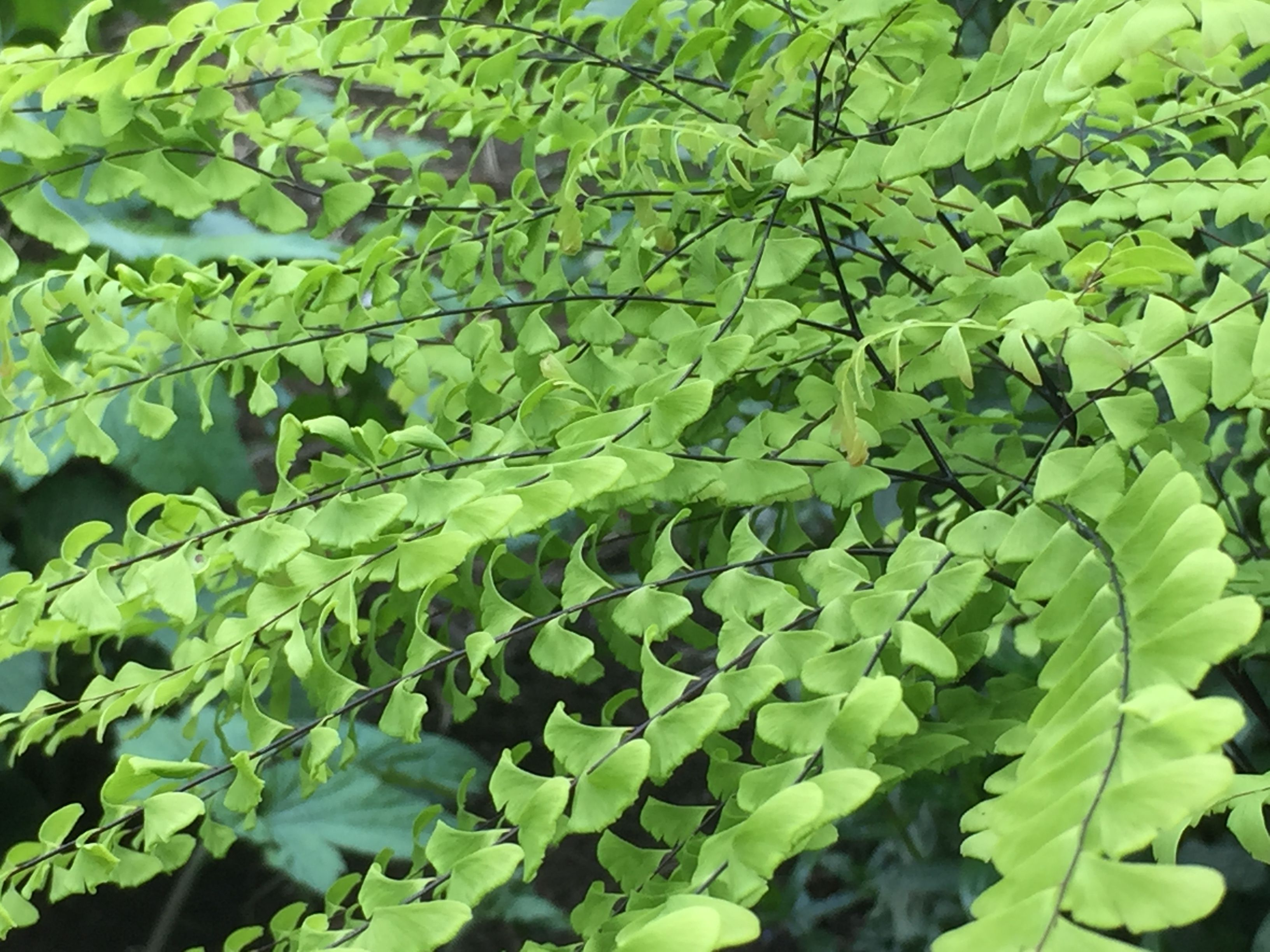 Adiantum one of the prettiest ferns in our opinion will grow happily in a pot but will also look beautiful lighting up a shady spot in the border.