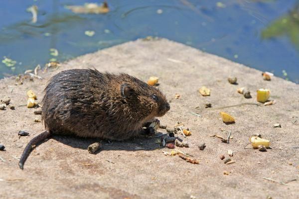 Como Acabar Con Las Ratas En El Campo Como Hacer Un Veneno Para Ratas Casero Rata Casera Ratas
