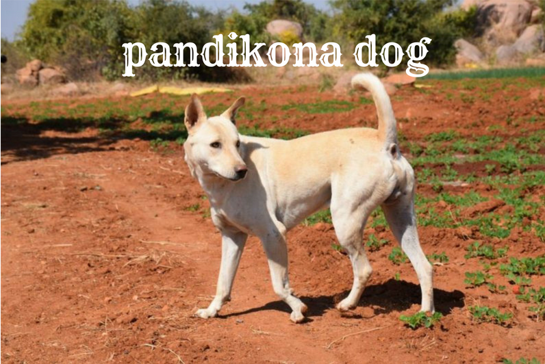 Dog Types In India With Pictures