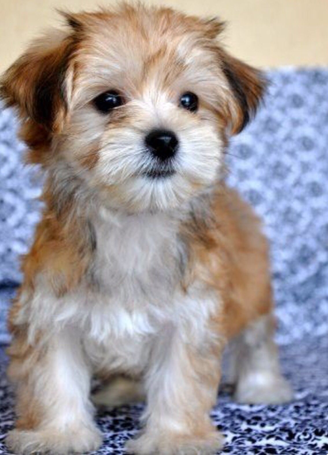 Morkie (Maltese and Yorker mix)  I may be in love.