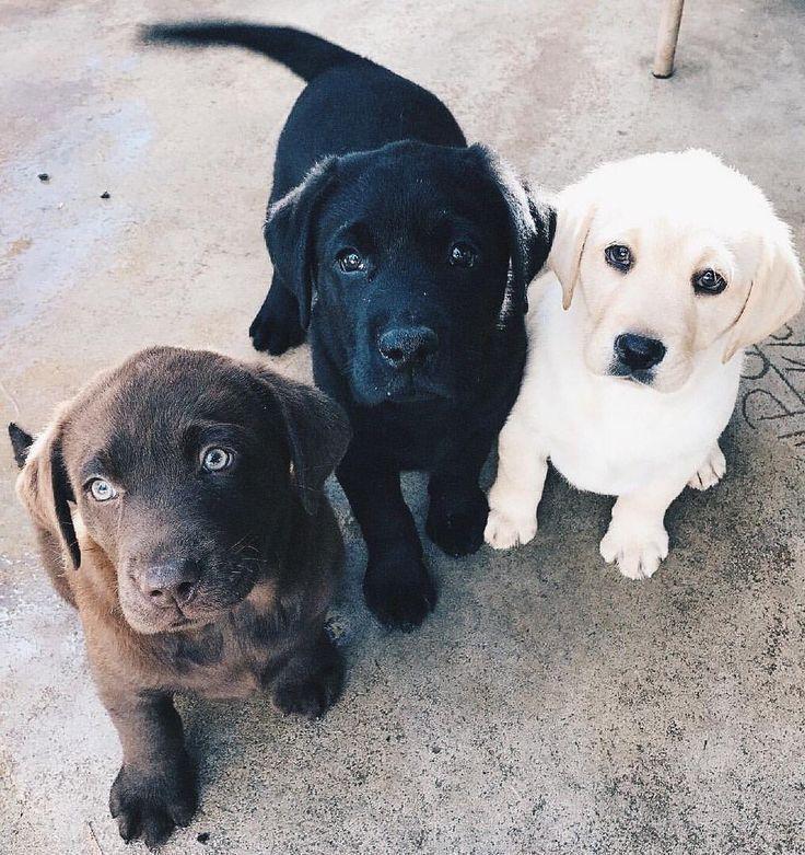 Labradorretriever Hunde Welpen Tiere Hunde Babytiere