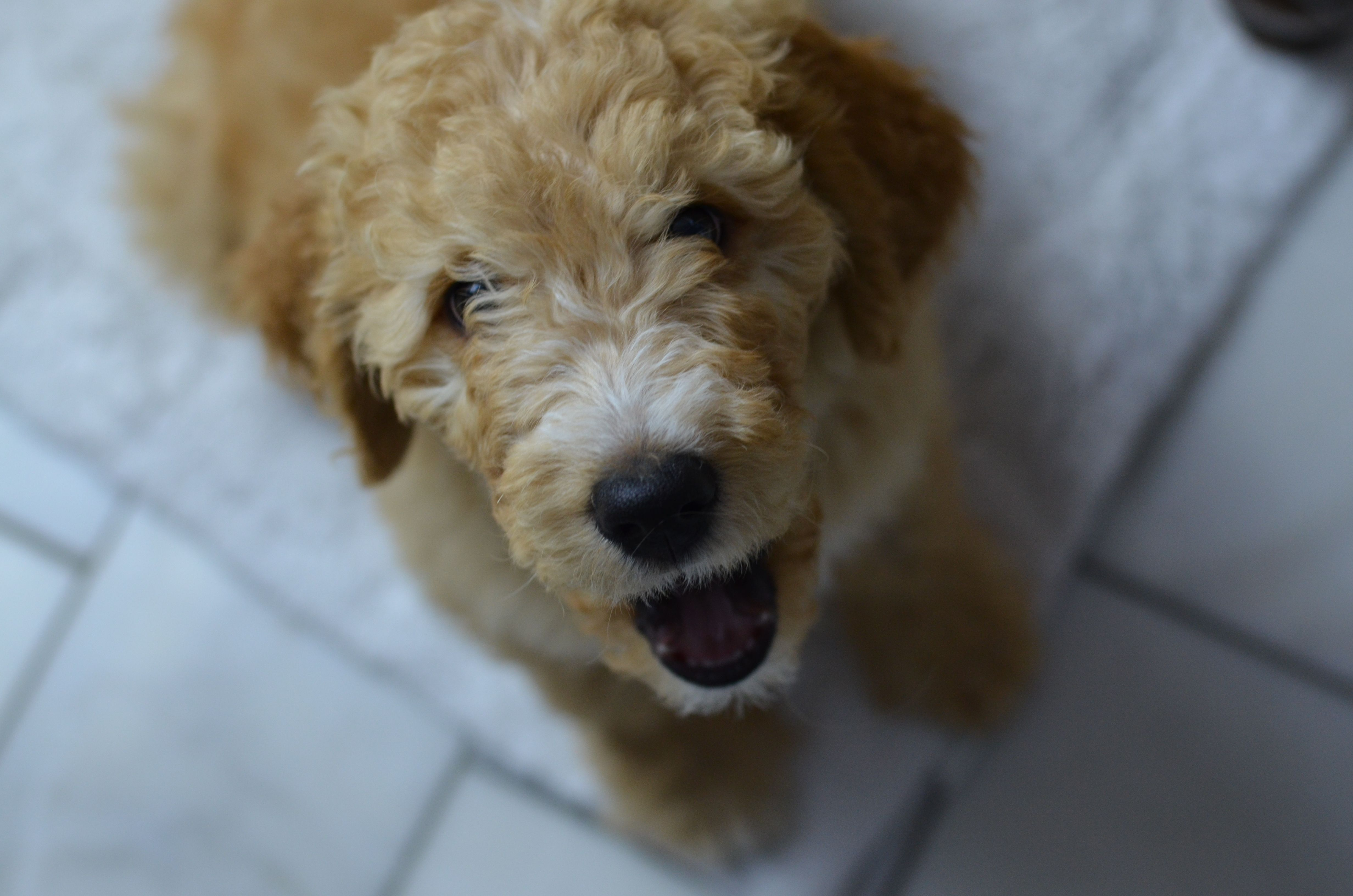 Iowa goldendoodle puppy goldendoodle puppy for sale
