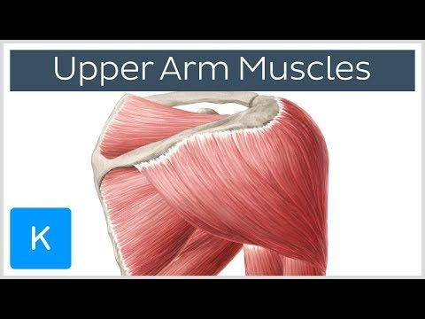 muscles of the upper arm and shoulder blade - human anatomy, Muscles