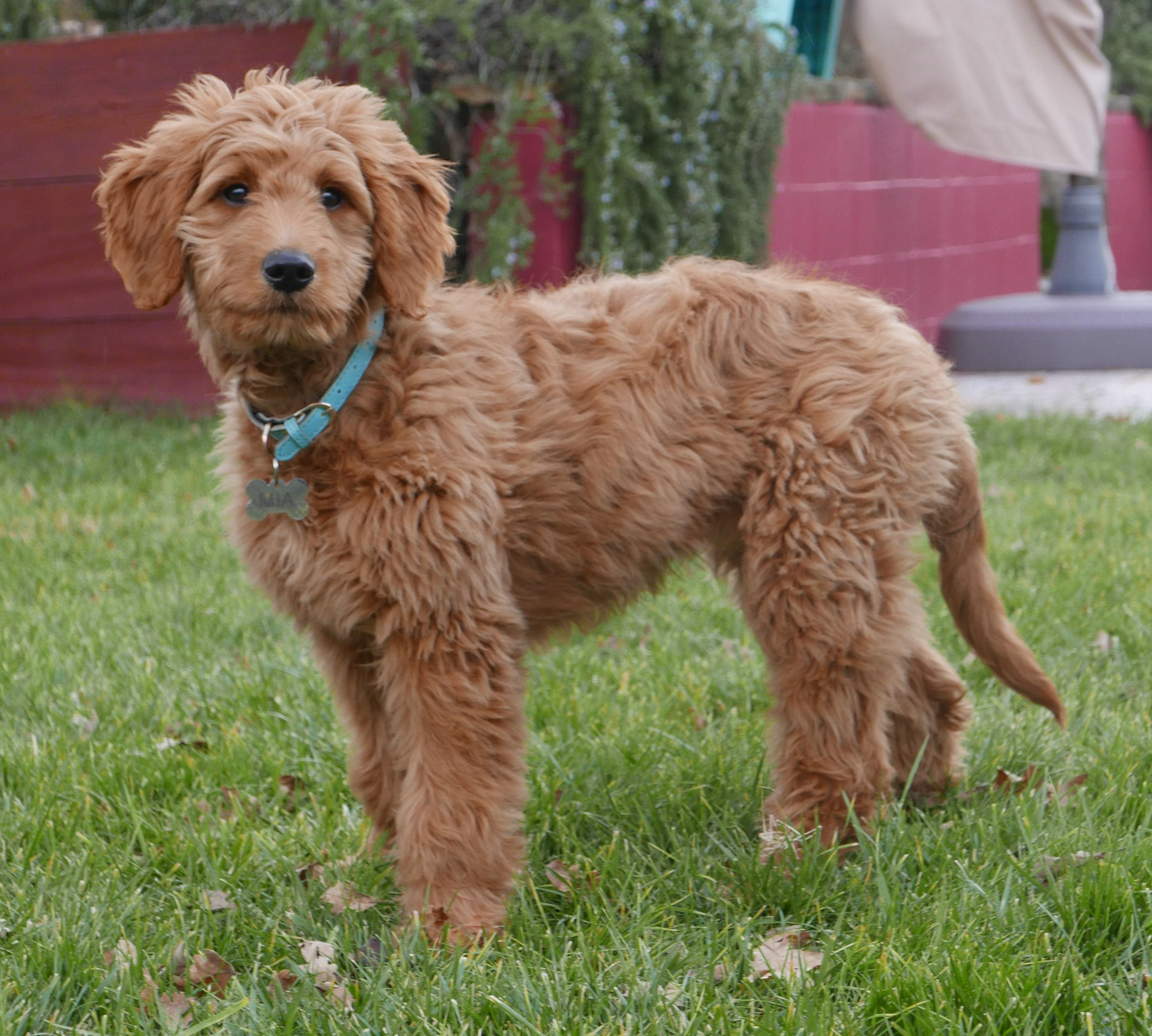 Goldendoodle Wikipedia Golden Retriever Poodle Mix Stock Photos Golden Retriever The Miniature Golden R In 2020 Aussiedoodle Goldendoodle Golden Retriever Poodle Mix