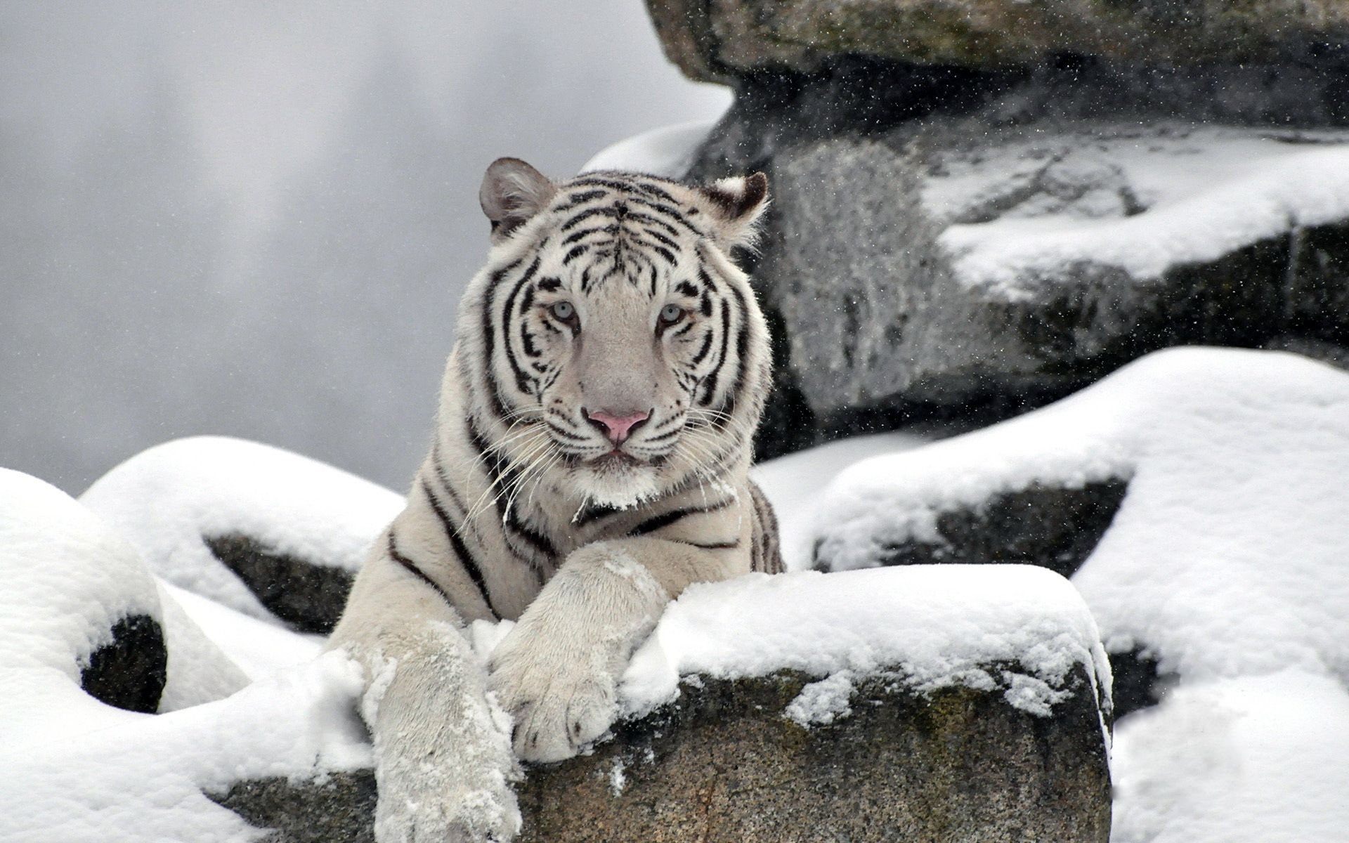 White Tiger In The Winter Background Wallpaper 10106 Snow Tiger Tiger Images Animals