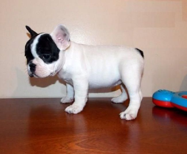 French Bulldog Puppies For Sale Perth Zoe Fans Blog