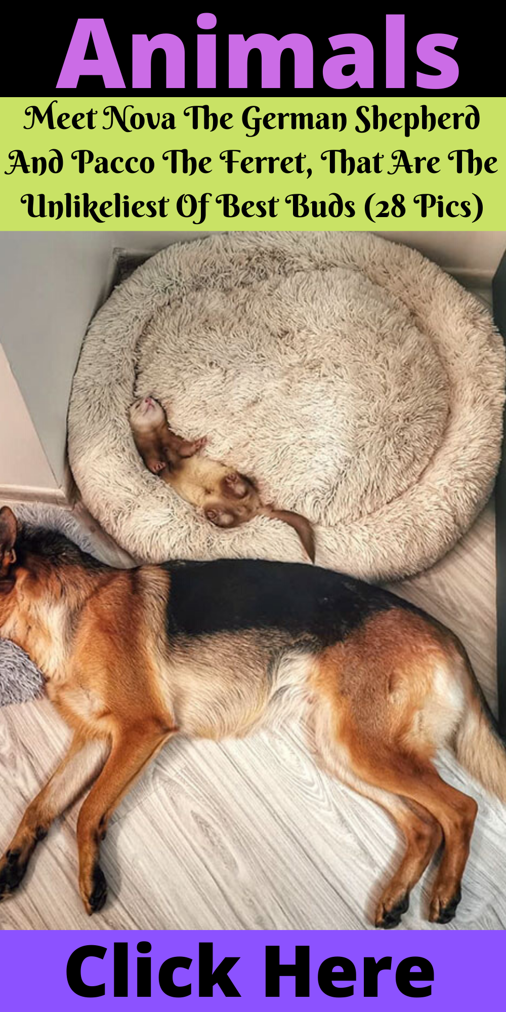Meet Nova The German Shepherd And Pacco The Ferret That Are The Unlikeliest Of Best Buds 28 Pics Unusual Animal Friendships Animals Animals Friendship