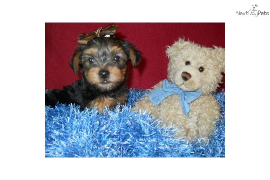 Yorkshire Terrier Yorkie Puppy For Sale Near St Louis Missouri 30ceea9b 07b1 Yorkie Poo Puppies Yorkie Puppy Yorkie Poo