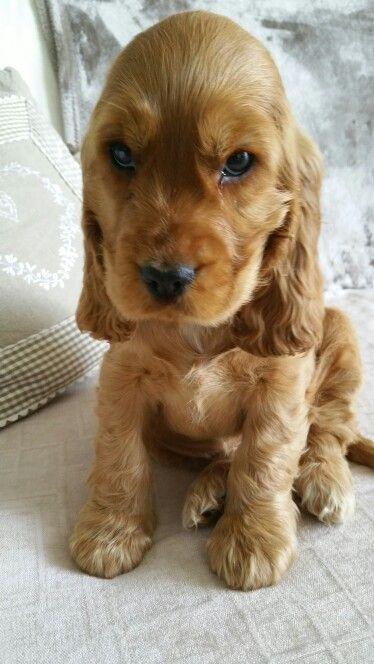 Lola Cocker Anglais Golden 2 Mois Baby Dogs Spaniel Puppies Dogs