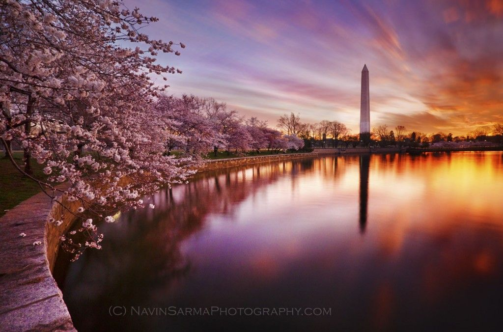 Sunrise Cherry Blossoms At The Tidal Basin By Navin Sarma Famousdc Cherry Blossom Dc Cherry Blossom Festival Cherry Blossom Festival Dc