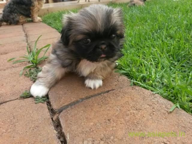 Pekingese puppies for sale in Mumbai on Best Price Asiapets
