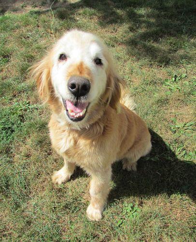 Adopt Chessa On Heart Animals Need Homes Dogs Golden Retriever Rescue Dogs Golden Retriever